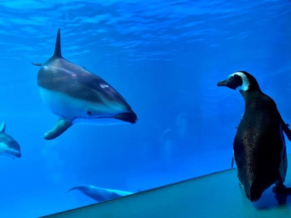 Pinguins passeiam por aquário de Chicago (Foto: Reprodução)